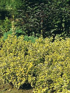 Euonymus fortunei' Emerald Gold '