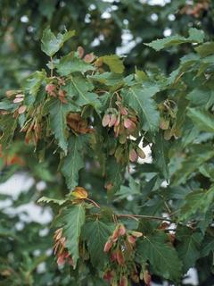 Acer ginnala Klon ginnala