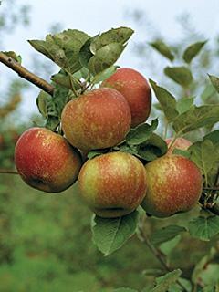 Jabłoń Roter Boskoop