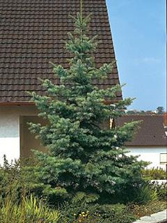 Abies concolor Jodła kalifornijska