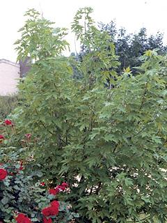Acer saccharinum Klon srebrzysty