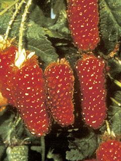 Rubus Tayberry Malina Tayberry