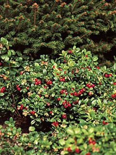 Borówka brusznica (borówka czerwona)