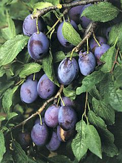 Prunus Hauszwetsche Śliwa Hauszwetsche
