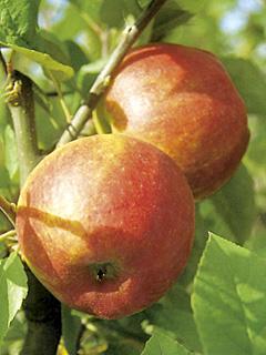 Jabłoń Pilot