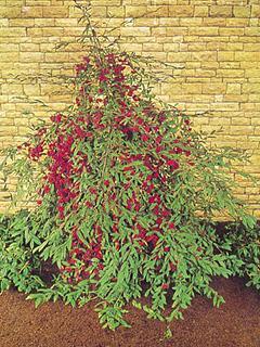 Cotoneaster salicifolius var.floccosus