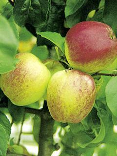 Jabłoń Rewena