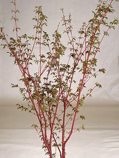 Acer palmatum 'Sango-Kaku' klon palmowy 'Sangokaku'
