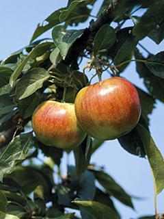 Jabłoń Jamba