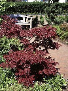 Acer palmatum 'Atropurpureum' klon palmowy 'Atropurpureum'