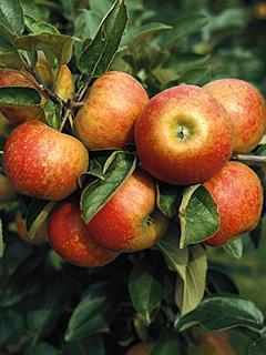 Jabłoń Elstar