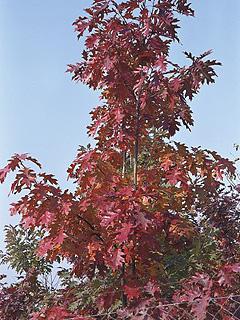 Quercus rubra Dąb czerwony