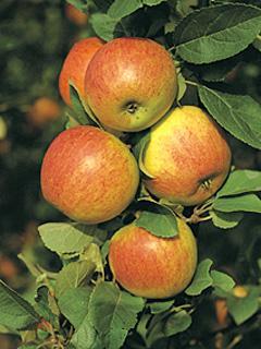 Jabłoń Alkmene