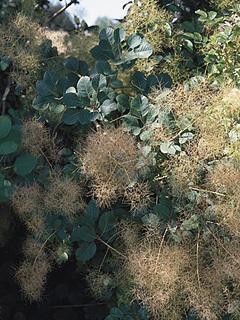 Cotinus coggygria Perukowiec podolski