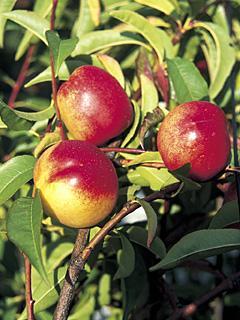 Prunus Nektarine Nektarynka