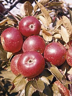 Jabłoń Ingrid Marie