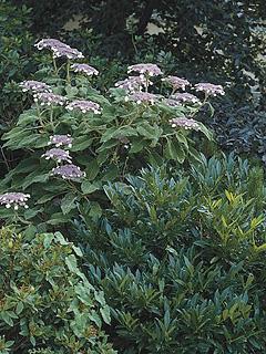Hydrangea sargentiana (syn. Hyd. aspera sarg.)