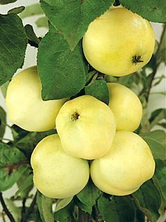 Jabłoń Weisser Klarapfel