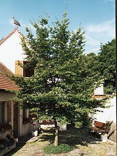 Carpinus betulus Grab pospolity