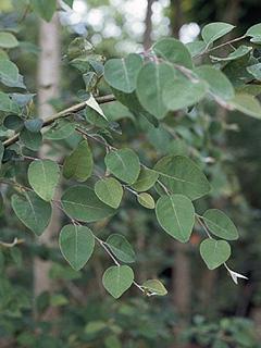 Cotoneaster multiflorus