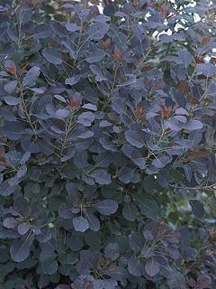 Cotinus coggygria 'Royal Purple' Perukowiec podolski