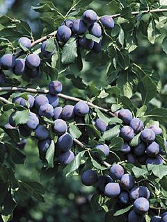 Prunus Hanita Śliwa Hanita