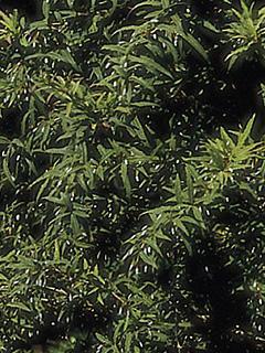 Berberis gagnepainii 'Lanceifonia'