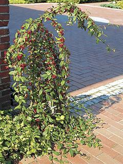 Cotoneaster 'Pendulus'