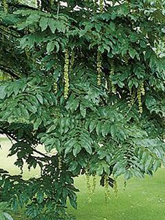 Pterocarya fraxinifolia Skrzydłorzech kaukaski