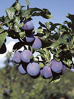 Prunus Anna Spath Śliwa Anna Spath