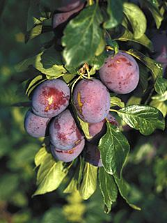Prunus Graf Althans Reneklode Śliwa Graf Althans Reneklode