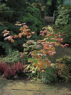 klon japoński 'Aconitifolium'