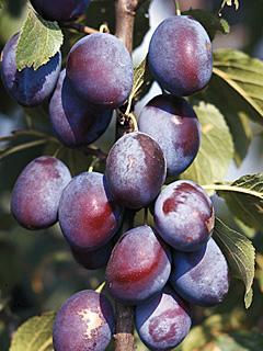 Prunus The Czar Śliwa The Czar