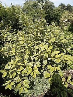 Cornus alba 'Spaethii' Dereń biały