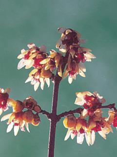 Zimokwiat wczesny