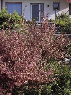 Cytisus praecox 'Hollandia'