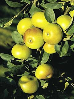 Jabłoń Brettacher