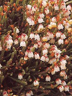 Cassiope ericoides