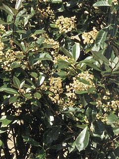 Photinia villosa