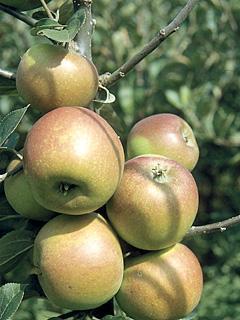Jabłoń Goldparmane