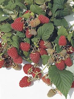 Rubus Schonemanns Malina Schonemanns