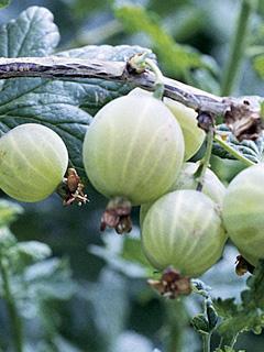Grossularia Hinnonmaki grun Agrest Hinnonmaki zielony