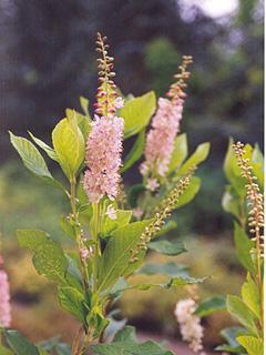 Clethra alnifolia 'Rosea'