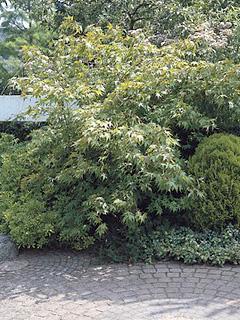 klon palmowy 'Ôsakazuki'